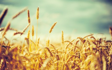 sunshine-on-barley-field-cross-processed-xpro-photography